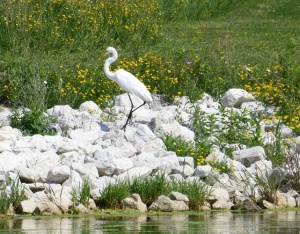 Egret on white rocks yellow wildflowers in background plum grove reservoir-1