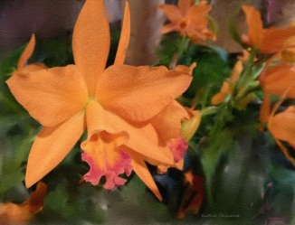 Peach Orchid 10